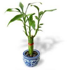 نگهداری گل بامبو