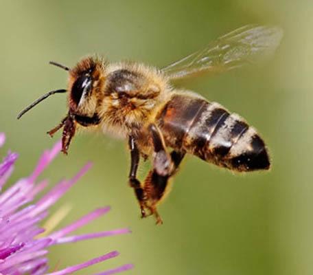 از بین بردن سلولهای سرطانی با زهر زنبور